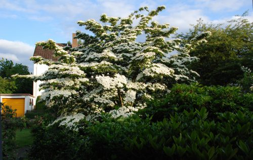 Dansenberg: Der Japanische blumenhartriegel (Cornus Kours Chinensis) im Garten Braun-Mayr-Falkenberg wurde viel bestaunt. Hunderte von weißen Scheinblüten zierten das über 50 Jahre alte Exemplar.