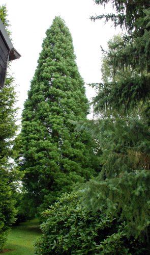 Dansenberg: Einen ca. 40 Jahre alten Urweltmammutbaum (Redwoodbaum) gab es im Garten von Ingeborg Nies zu bestaunen.