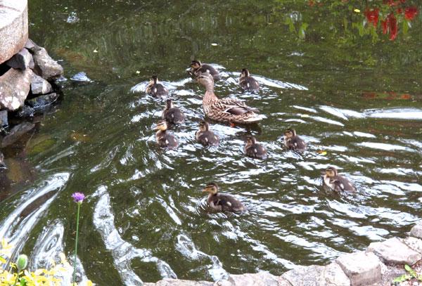 Entenfamilie im Wasserbecken