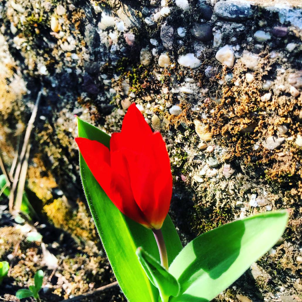 Tulpe im Garten von Anna